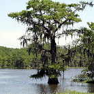 Pelican - DeSoto Parish Louisiana